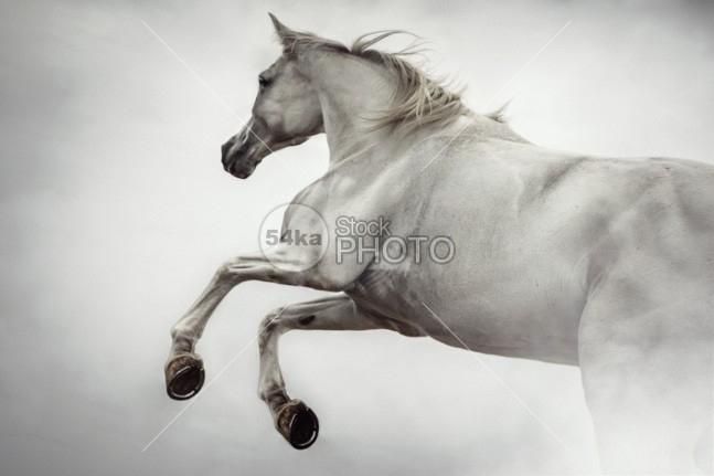 White Horse Rearing Up horizontal hoofed high herd group ground gallop freedom free forward force field fastest fast farm expressive expression expensive event equine equestrian beauty equestrian emotions elegant elegance dressage draft dangerous danger color cloudy clouds chestnut canter brown bridle body blue black beauty beautiful beast bay background Art arabian arab animal active action 54ka StockPhoto