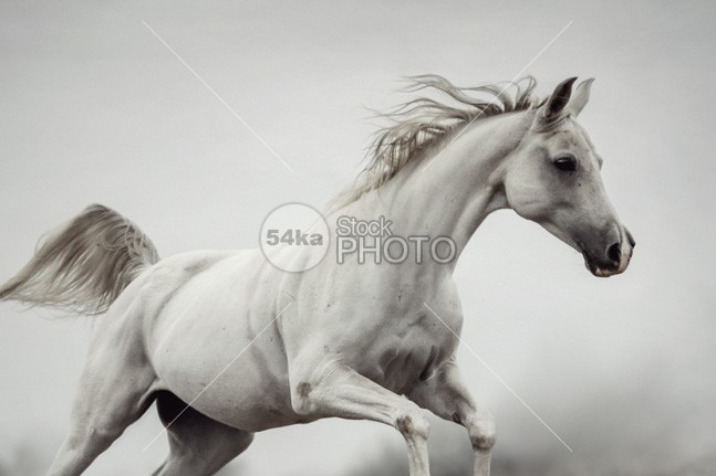 Galloping White Horse Runner run rising power portrait pasture nobody nature moving Motion meadow mane mammal Male horse horizontal hoofed high herd ground grey gray grass gelding Galloping gallop freedom free forward force fast evening equitation equine equestrian beauty equestrian emotions domestic canter beauty equine beauty beautiful beautifu Arabian Horse animal amazing horse alone 54ka StockPhoto