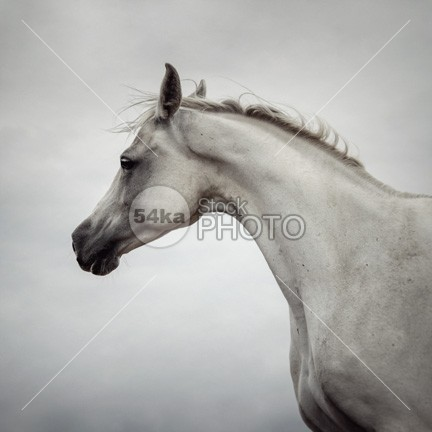 Arabian Horse Portrait winter white portrait Motion mane long horse portrait horse glossy glance gelding freedom free flexibility fall equine equestrian beauty equestrian elegance ears domestic day curious color coat card breed blue bend beauty beautiful background autumn attentive attention arabian stallion arabian horse portrait Arabian Horse arabian arab horse bend arab animal andalusian horse portrait andalusian active 54ka StockPhoto
